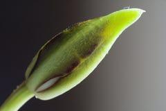 La orquídea brota imágenes de archivo libres de regalías