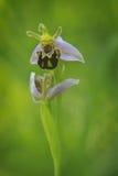 La orquídea de abeja atractiva y exótica Fotografía de archivo libre de regalías