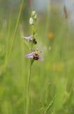 La orquídea de abeja hermosa un amo en la mímica del insecto Fotos de archivo