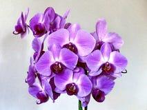 La orquídea feliz de la tarjeta del día de San Valentín de Thornhill florece 2017 Fotografía de archivo