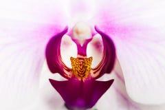 La orquídea florece en macro con los detalles violetas y amarillos Imagenes de archivo