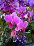 La orquídea púrpura florece la floración en rama Imágenes de archivo libres de regalías