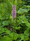 La orquídea salvaje de la montaña, orquídea temprano-púrpura Fotos de archivo libres de regalías