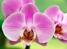 La orquídea subió Fotografía de archivo