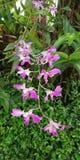 La orquídea Superbien es hermosa y el encantar foto de archivo libre de regalías