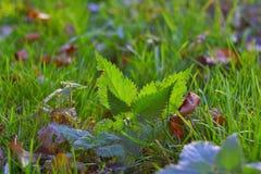 La ortiga miente en hierba con retroiluminado por luz del sol Imagen de archivo