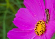La oruga del gusano en la flor rosada Imagenes de archivo