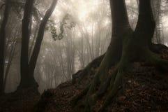 La oscuridad encantó el bosque con los árboles con las raíces enormes con el musgo Imagen de archivo libre de regalías