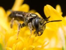 La oscuridad sudó el polen de los extractos de la abeja de una flor amarilla Imagen de archivo
