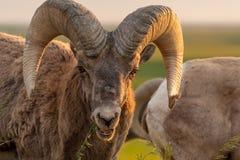 La oveja de Bighorn pasta en el pedazo de hierba imagen de archivo libre de regalías