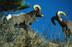 La oveja de Bighorn pega la lucha Imágenes de archivo libres de regalías