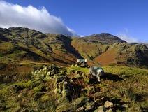 La oveja de Herdwick en derriba Fotografía de archivo