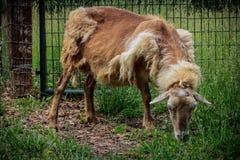 La oveja de la oveja vierte su abrigo de invierno Fotografía de archivo