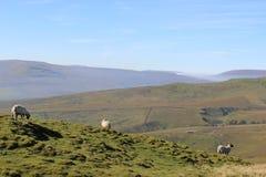 La oveja encendido derriba, North Yorkshire, Inglaterra fotografía de archivo