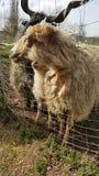 la oveja está en el parque zoológico Fotos de archivo libres de regalías