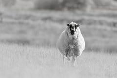 La oveja hecha frente manchada se destaca en prado Fotos de archivo libres de regalías