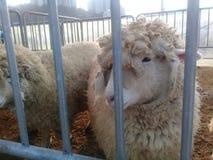 La oveja joven del cordero descansa en una pluma en una pluma de la granja fotos de archivo