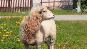 La oveja mastica el pan en el prado metrajes