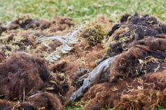 La oveja permanece Imagen de archivo