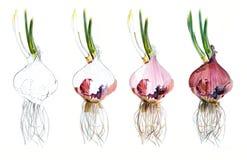 La página muestra cómo camina el bosquejo de dibujo de la acuarela de las cebollas rojas, tutorial del drenaje Foto de archivo