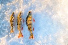 La pêche d'hiver, perche de reshwater a attrapé la pose sur la neige, l'espace de copie pour le texte Image libre de droits