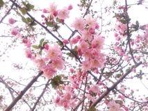 La pêche de floraison fleurit en Xixi parc de marécage de ressortissant à Hangzhou, Chine Photo stock