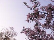 La pêche de floraison fleurit en Xixi parc de marécage de ressortissant à Hangzhou, Chine Images libres de droits