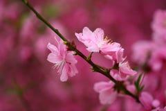 La pêche fleurit au printemps Photos libres de droits