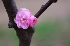 La pêche fleurit au printemps Photographie stock