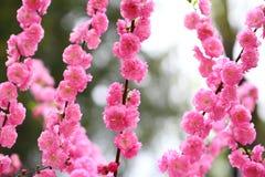 La pêche fleurit au printemps Image libre de droits