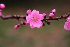 La pêche fleurit au printemps Photo stock