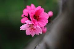 La pêche fleurit au printemps Images stock