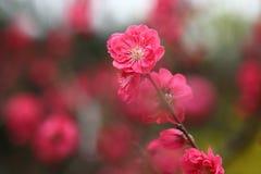 La pêche fleurit au printemps Photo libre de droits