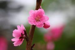 La pêche fleurit au printemps Photographie stock libre de droits