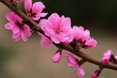 La pêche fleurit au printemps Photos stock