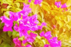 La púrpura de la flor de la buganvilla con verde se va hermoso en el jardín con el espacio de la copia añada el texto Imágenes de archivo libres de regalías