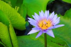 La púrpura de la flor de Lotus o el agua lilly y la abeja chuparon el néctar en polen ciérrese encima de hermoso en naturaleza Imagen de archivo libre de regalías