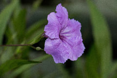 La púrpura del color Fotografía de archivo