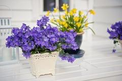 La púrpura delicada florece la verbena en la tabla afuera Imágenes de archivo libres de regalías