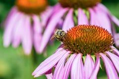 La púrpura florece la abeja del Echinacea y de la miel Imagen de archivo