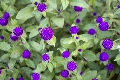 La púrpura florece el fondo fotografía de archivo