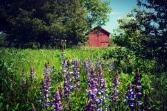 La púrpura florece el granero rojo Foto de archivo libre de regalías