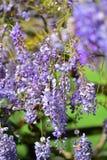 La púrpura florece el hybrida de la anémona x que florece en los jardines botánicos de Auckland Imagen de archivo libre de regalías