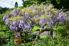 La púrpura florece el hybrida de la anémona x que florece en los jardines botánicos de Auckland Fotos de archivo