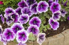 La púrpura florece la enredadera Foto de archivo libre de regalías