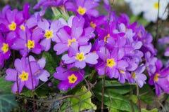 La púrpura florece las primaveras (la prímula vulgaris) Imagen de archivo libre de regalías
