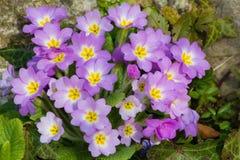La púrpura florece las primaveras (prímula vulgaris) en una cama Foto de archivo libre de regalías
