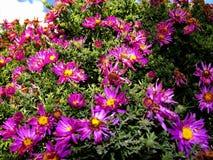 La púrpura florece los asteres, flores de la familia de Bush cultivadas en el jardín ruso en verano tardío Fotos de archivo