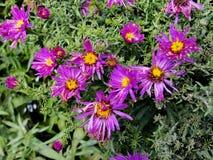 La púrpura florece los asteres, flores de la familia de Bush cultivadas en el jardín ruso en verano tardío Imagen de archivo