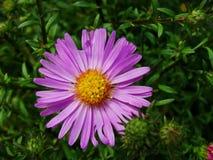 La púrpura florece los asteres, flores de la familia de Bush cultivadas en el jardín ruso en verano tardío Foto de archivo libre de regalías